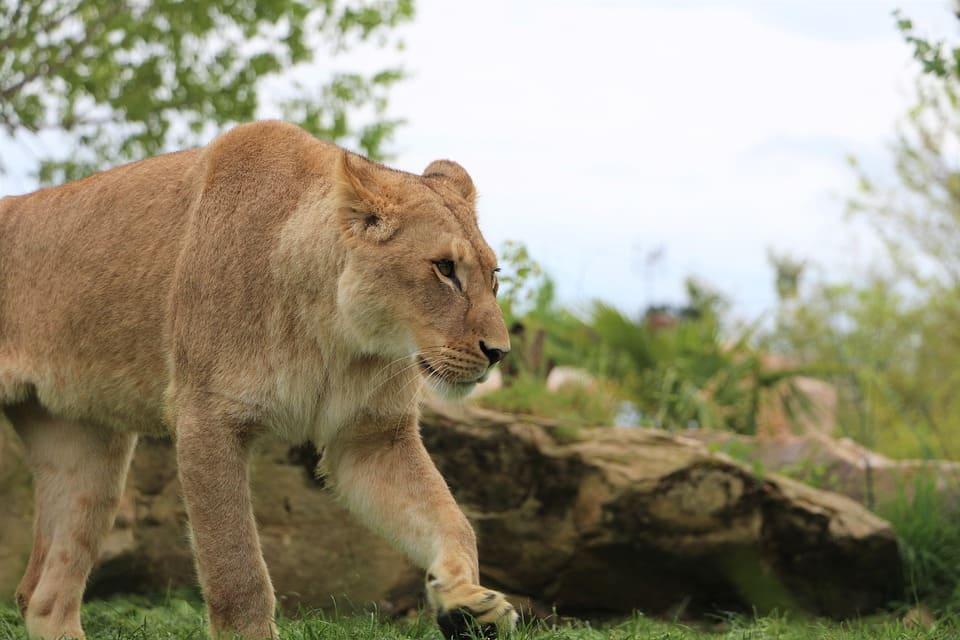 lion du zoo de beauval